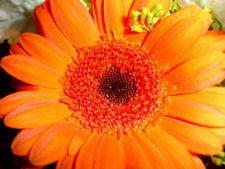 orangedaisy.jpg